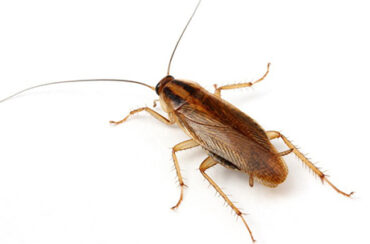How cockroaches get in to your home