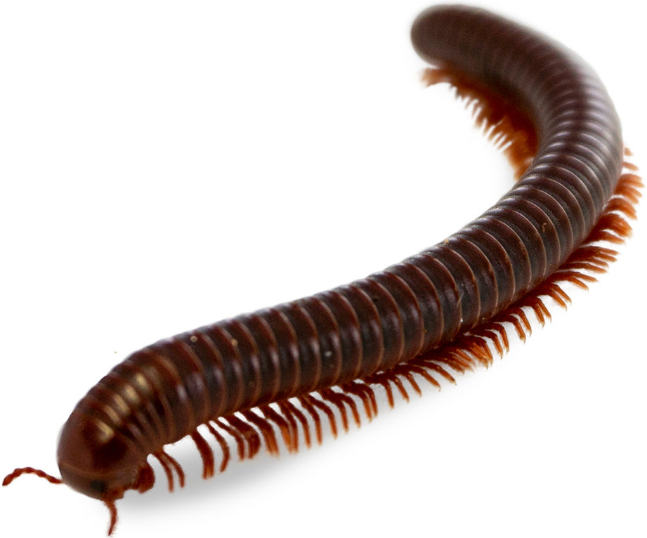 Millipedes removal
