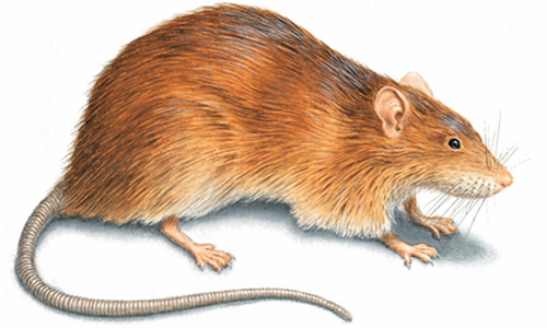 Norway Rats and mice extermination