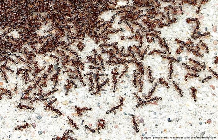 pavements ants