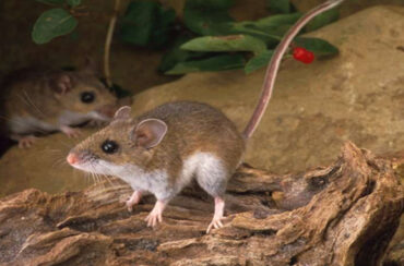 Rats and mice infestation