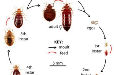 Bed bugs identification