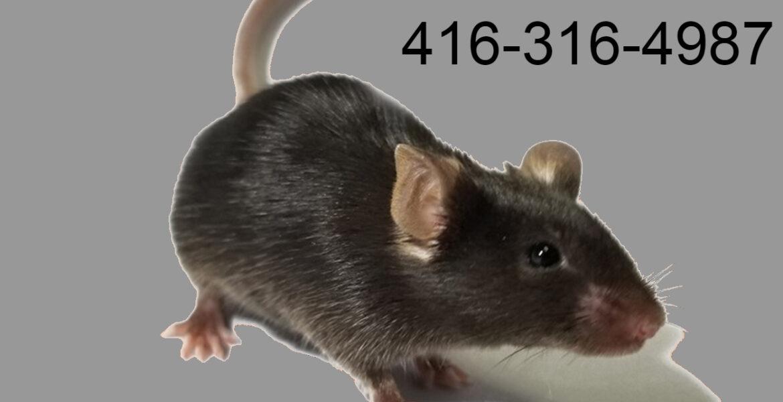 Rats control near me