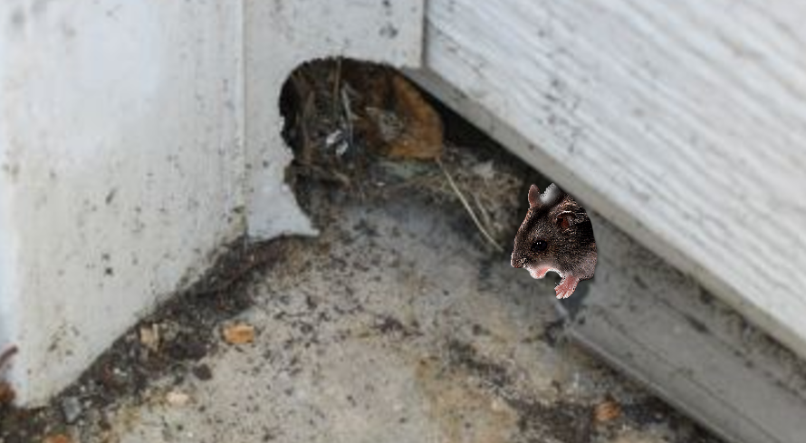 How to prevent mice infestation